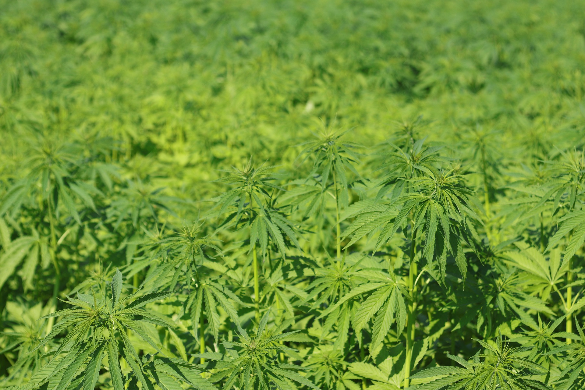 Hemp biomass ready for harvest