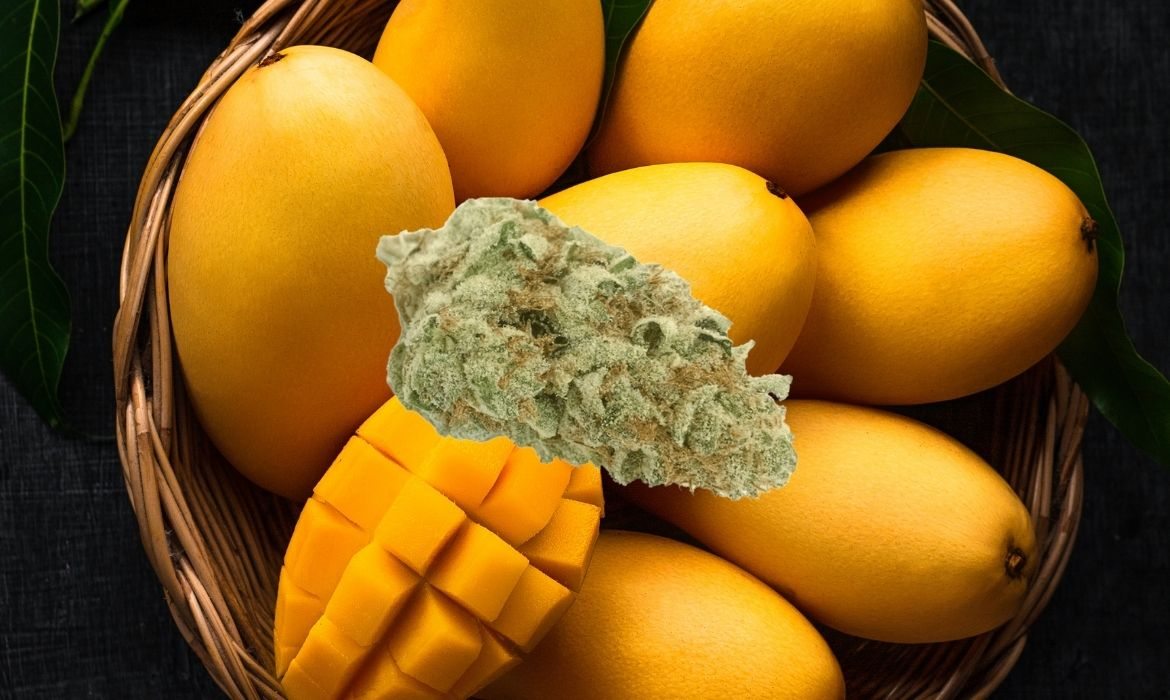 A beautiful nug dripping in trichomes hovers above a basket of mangos