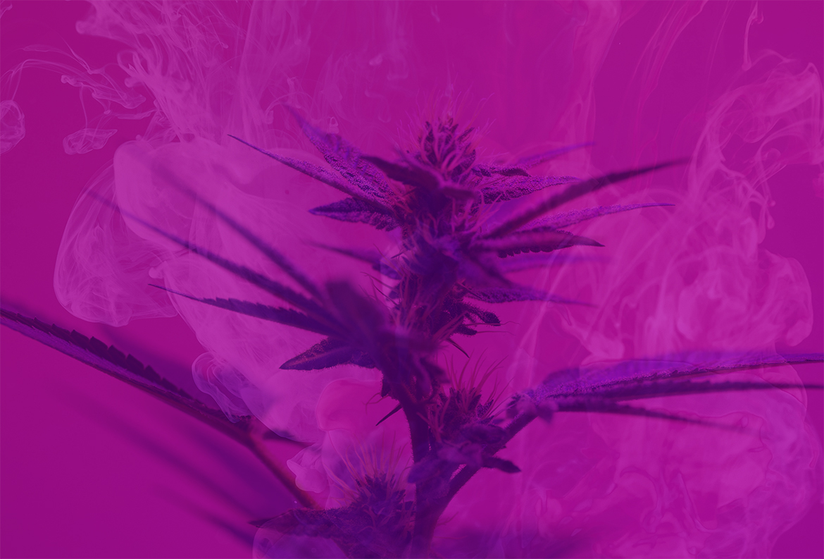 A violet flame strain of cannabis plant