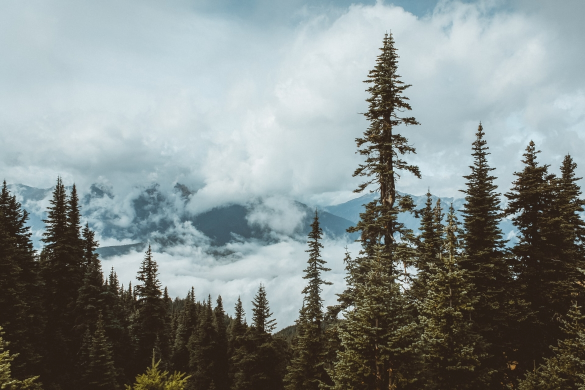Beautiful spruce trees stand proud among a cloudy sky in Washington State