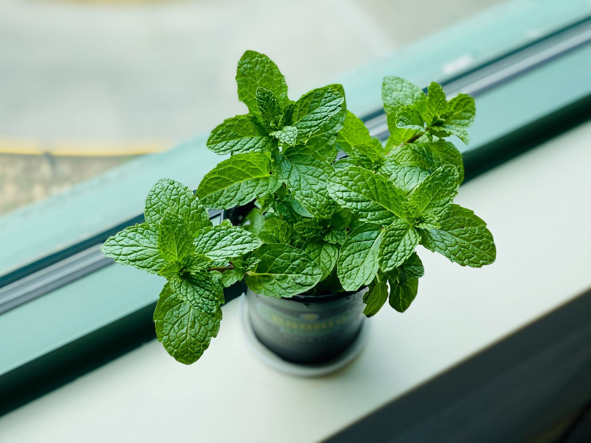 A green mint plant that produces the terpene Ocimene sits on the window sill bathed in sunlight