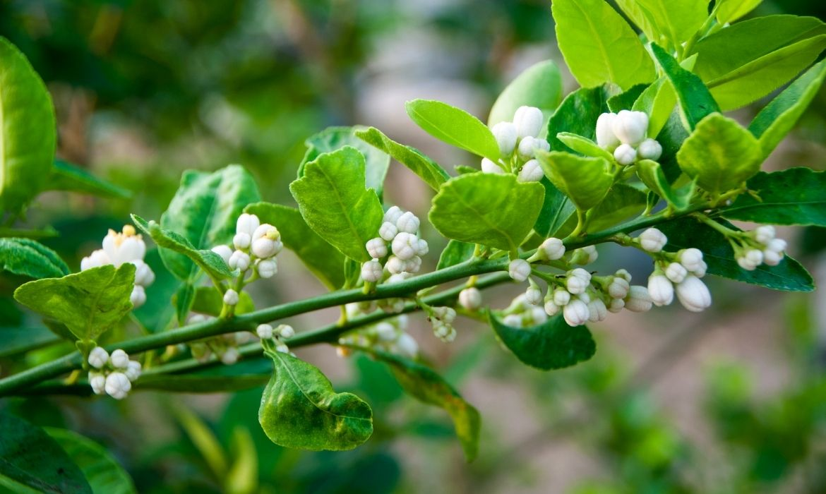 Lime blossoms full with Terpineol